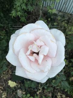 大輪の薔薇の写真・画像素材[2164549]