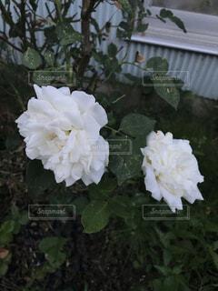 花びらいっぱいのバラ二輪の写真・画像素材[2164552]