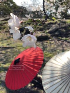 桜と番傘の写真・画像素材[1687203]