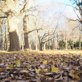 代々木公園のイチョウの落ち葉の写真・画像素材[1698279]