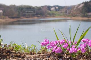 ピンクの花は、水体の写真・画像素材[1787312]