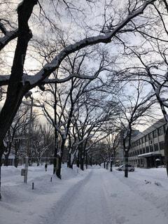 冬の北大キャンパスの並木。の写真・画像素材[1720128]