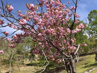 ピンクの花を持つ木の写真・画像素材[3228843]