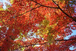 井の頭公園 紅葉の写真・画像素材[1688710]