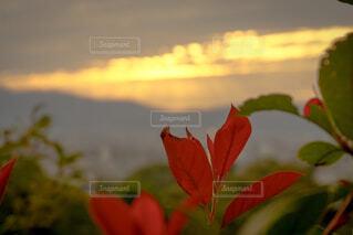 赤い葉越しの夕焼けの写真・画像素材[1689074]