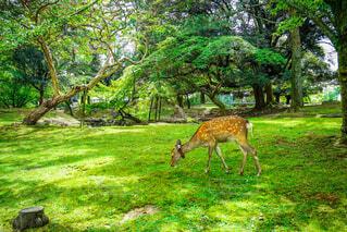 緑豊かな緑の中に立っている鹿の写真・画像素材[1689080]