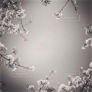 見上げた空と桜 白黒の写真・画像素材[1689357]