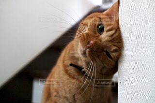 猫の写真の写真・画像素材[238009]