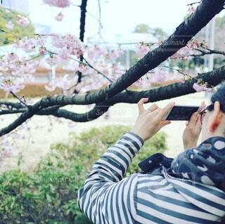 桜を撮るの写真・画像素材[382583]