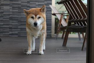 柴犬の写真・画像素材[515815]