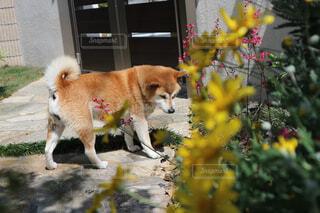 花と柴犬の写真・画像素材[857312]