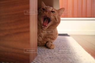 猫のあくびの写真・画像素材[1080956]