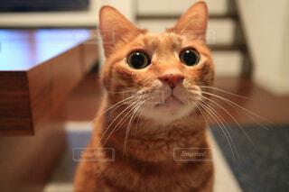カメラを見ている猫の写真・画像素材[1080958]
