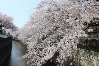 石神井川沿いの桜並木の写真・画像素材[1093474]