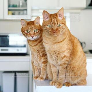 キッチンカウンターに乗る猫の写真・画像素材[2432122]