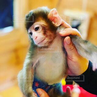 猿の赤ちゃんの写真・画像素材[1689534]