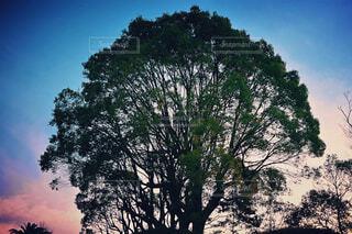 大きな木の写真・画像素材[1690635]