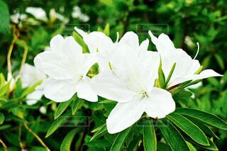 白い花の写真・画像素材[1702107]