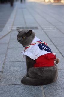 博多山笠猫の写真・画像素材[1690711]