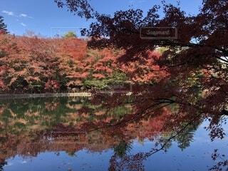 青空と池の中に紅葉の写真・画像素材[1690875]