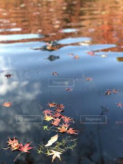 池に散る紅葉の写真・画像素材[1690880]