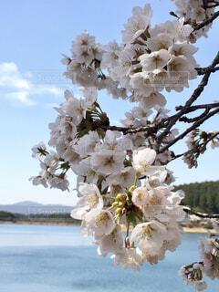 桜咲く1の写真・画像素材[1691289]
