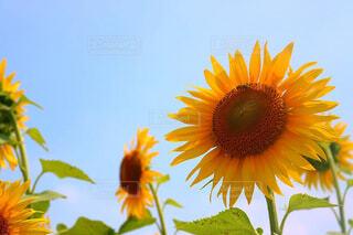 向日葵畑と蜜蜂の写真・画像素材[1696127]