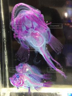 深海魚の透明の標本の写真・画像素材[1694416]