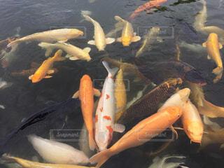 水の中の魚の群れ 錦鯉の池の写真・画像素材[1694816]