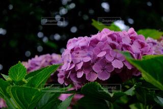紫陽花の写真・画像素材[1694903]