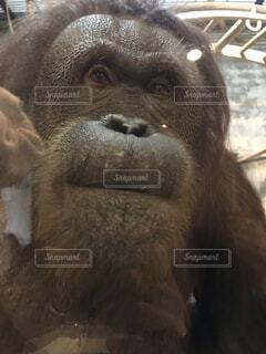 近くに猿のアップの写真・画像素材[1695092]