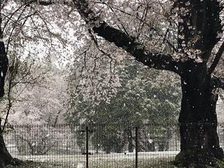 雪の日の桜満開。散っているのは桜?雪?の写真・画像素材[2136778]