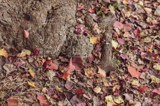 大樹の根元に集まる落葉の写真・画像素材[1696051]