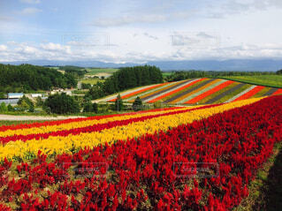バック グラウンドで北海道をフィールドに赤い花の写真・画像素材[1696490]