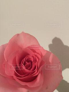 ピンクのバラの写真・画像素材[1784127]