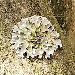ウメノキゴケの写真・画像素材[1701357]