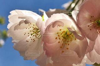 薄墨桜の写真・画像素材[2078833]