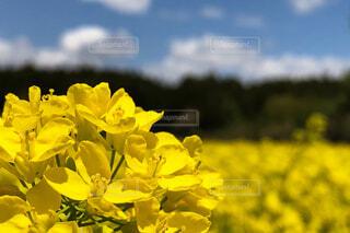 菜の花畑の写真・画像素材[2086097]