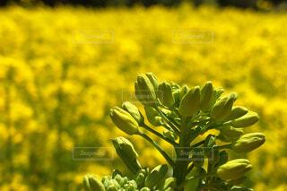 菜の花畑の写真・画像素材[2086098]