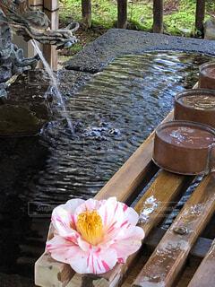 椿の花の写真・画像素材[2091722]