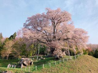 令和の桜の写真・画像素材[2092415]