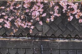 ボタン桜の写真・画像素材[2095049]