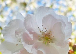 虎の尾桜の写真・画像素材[2119022]