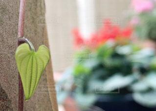 ハートの葉っぱの写真・画像素材[2252040]