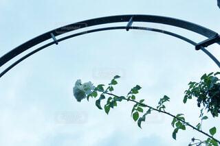 薔薇の写真・画像素材[2288181]