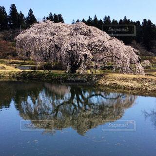 一本桜の写真・画像素材[2573963]