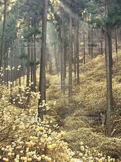 ミツマタ群生地の写真・画像素材[2926662]