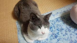灰色と白猫がテーブルに座っての写真・画像素材[1698833]