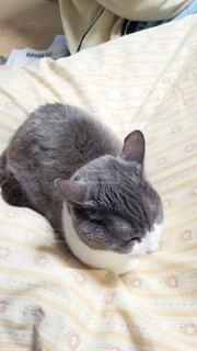ベッドの上で横になっている猫の写真・画像素材[1698851]