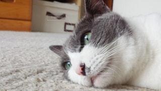 その口を開いてグレーと白猫の写真・画像素材[1698854]
